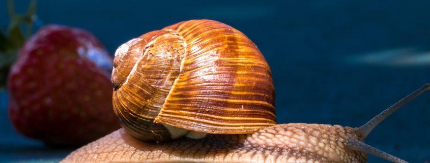 Hjerte-lungeorm smitter gennem parasitter i snegle